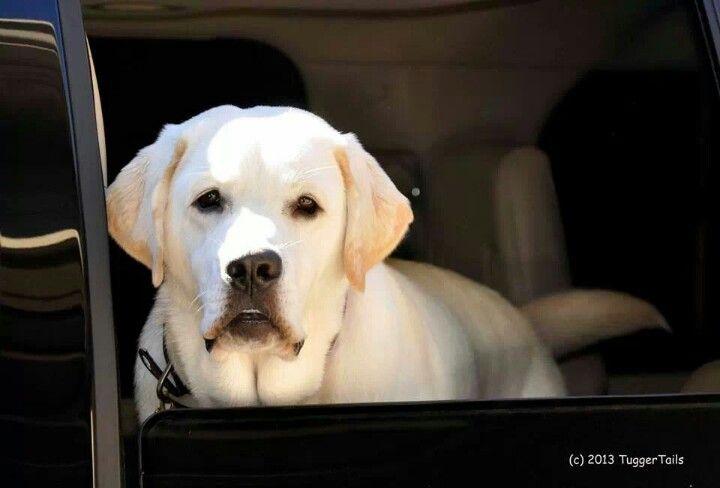 120 Best Dog Names For Black Labrador Retrievers Black Dog Names Black Labs Dogs Labrador Retriever