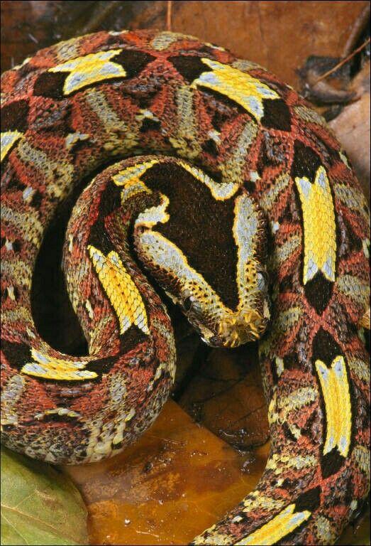 Pin by Manuel Rodríguez on Belas e Mortais. | Cute snake, Gaboon viper,  Snake lovers