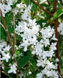 deutzia gracilis arbustes de petite taille arbres et arbustes jardinerie et arbuste. Black Bedroom Furniture Sets. Home Design Ideas