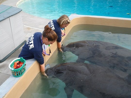 Learn more about manatee tactile abilities at Mote Marine Lab's website!