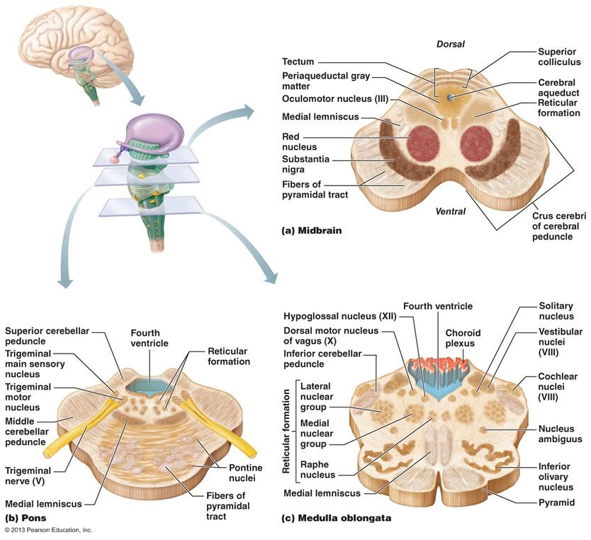 cerebellum anatomy - Google Search | Medicine | Pinterest ...