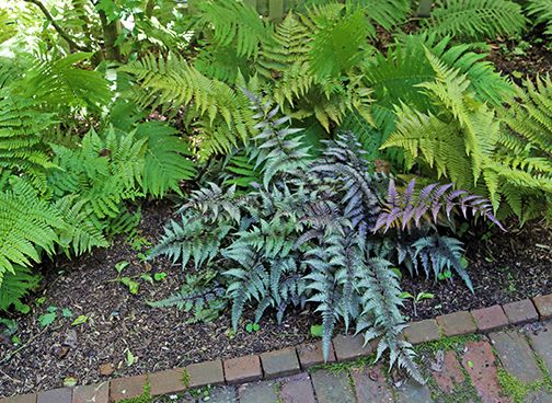 Plants+for+Shade+Gardens+–+You+Need+Ferns!