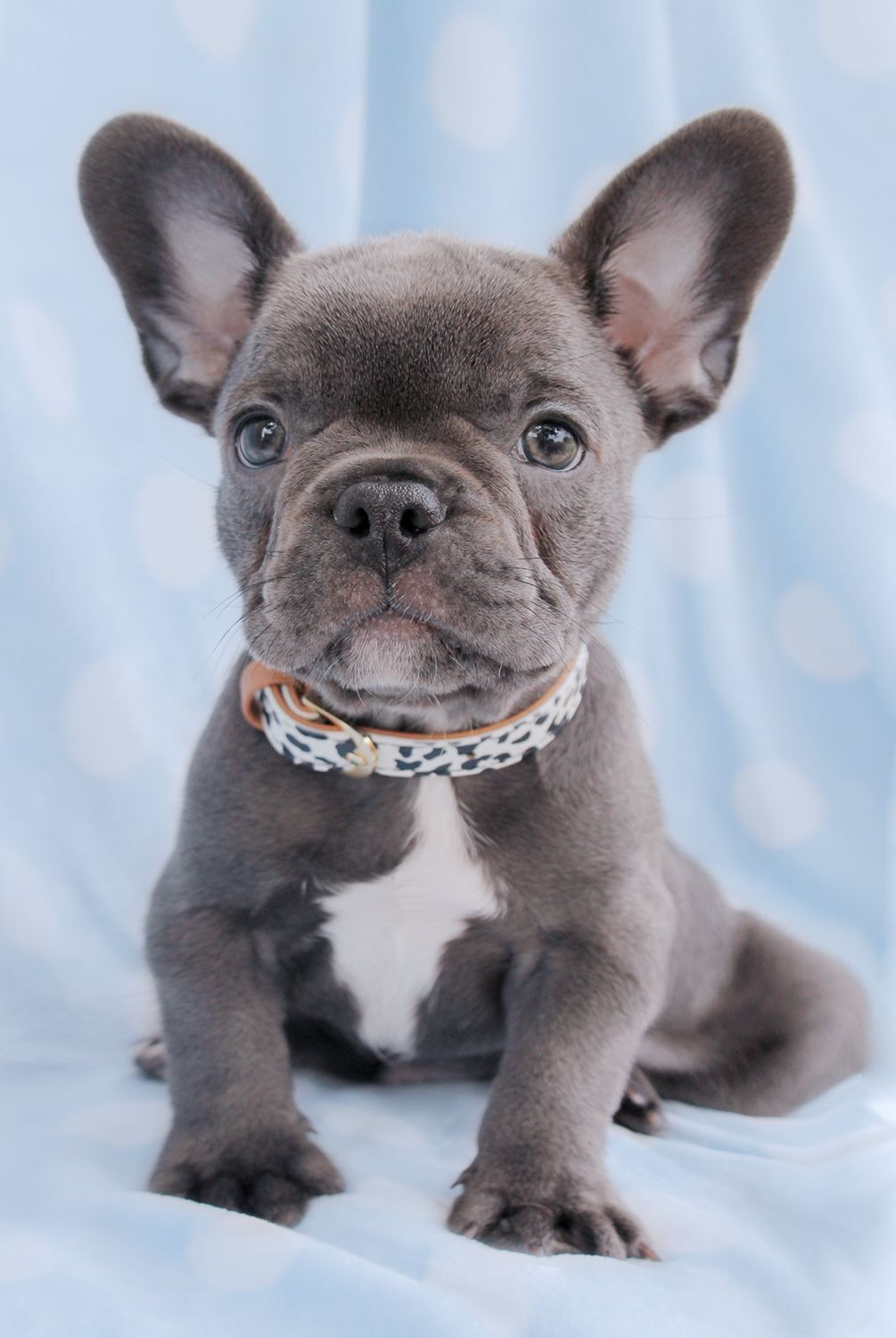 With Love And Light French Bulldog Puppies