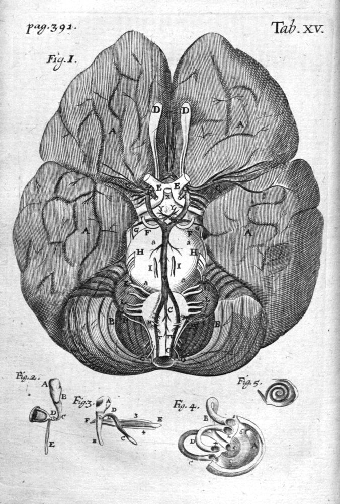 Anatomical illustrations on the study of the brain | Anatomy, Brain ...