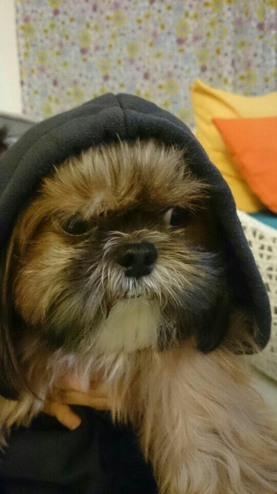Sasa Looks Unhappy On Her Hooded Jacket Shih Tzu Doggy Animals