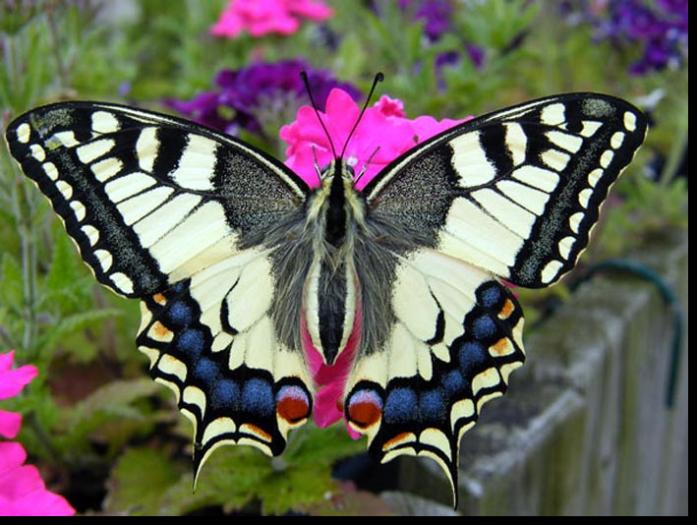 Schwalbenschwanz Erusbach Schwalbenschwanz Schmetterling Schwalbenschwanz Schone Schmetterlinge