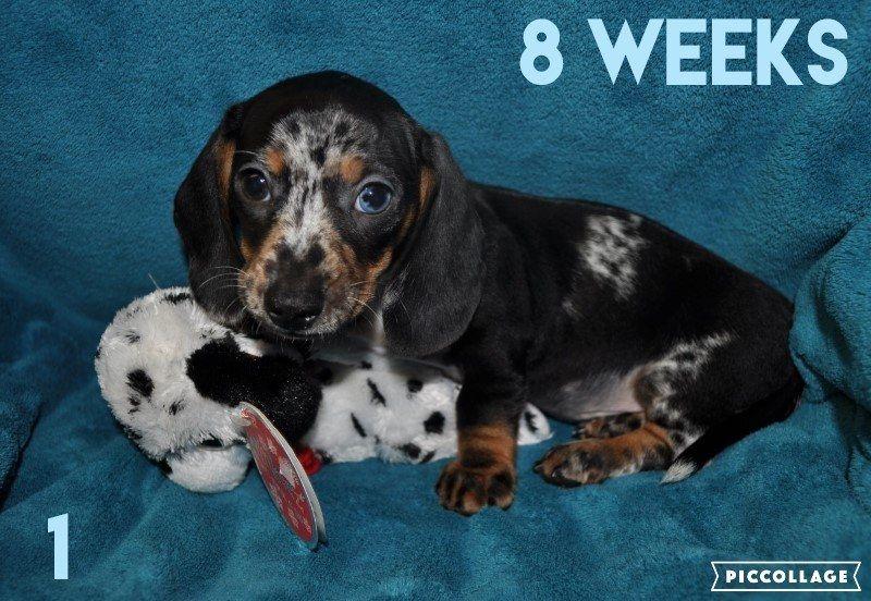 Dachshund Puppy For Sale In Haviland Ks Adn 39422 On Puppyfinder