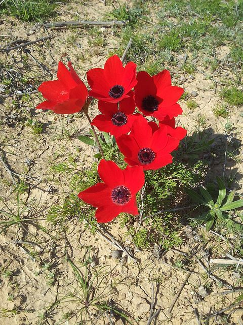 Red Anemones Meitar Forest Israel Red Anemone Anemone Rose Of Sharon