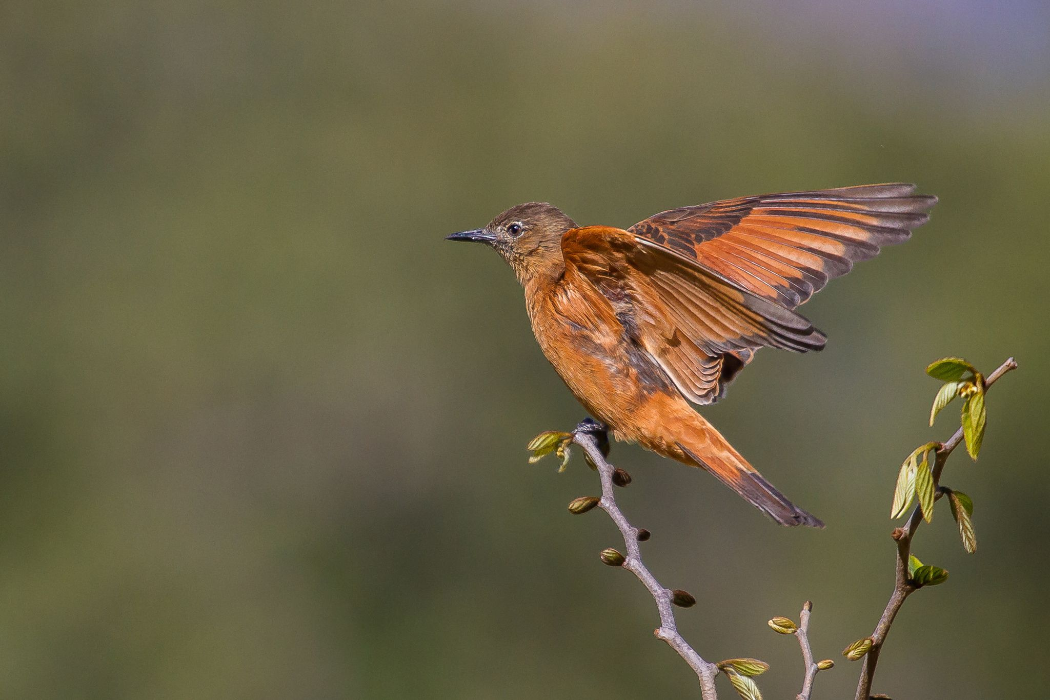 Cliff Flycatcher by Bertrando Campos on 500px