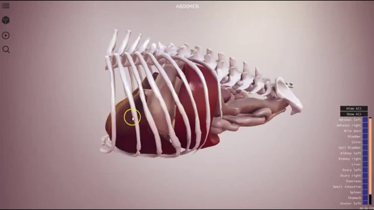 Canine abdomen preview - 3D Veterinary Anatomy, IVALA® | Veterinary ...
