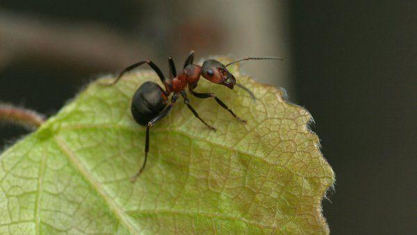 Muurahaisilla on kuusi jalkaa ja jalat ovat hyvin vahvat. Muurahainen pystyy nostamaan 20 kertaa oman painonsa verran. Muurahaiset asuvat keoissa.