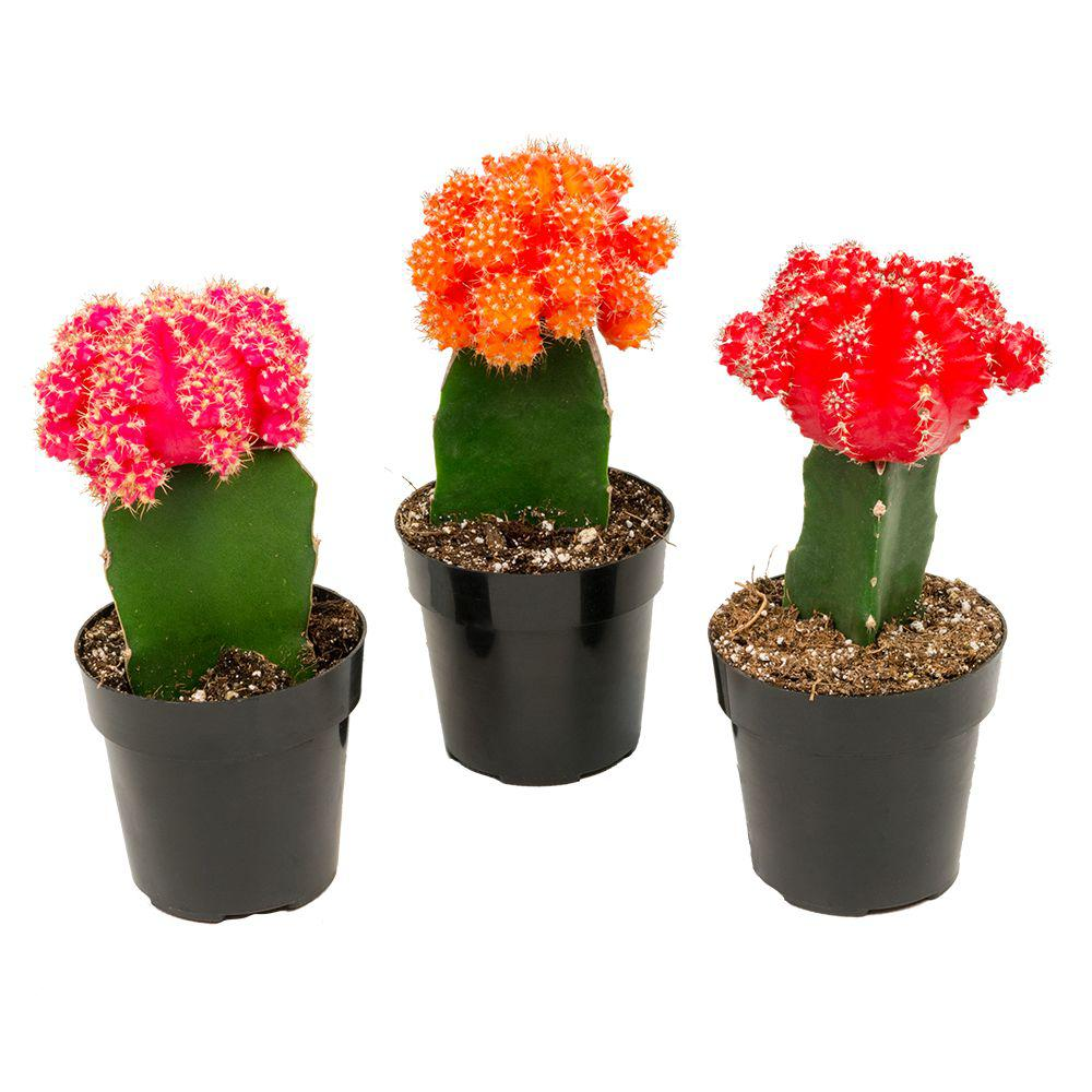 2 5 In Assorted Grafted Cactus 3 Pack Cactus Types Cactus House Plants Grafted Cactus