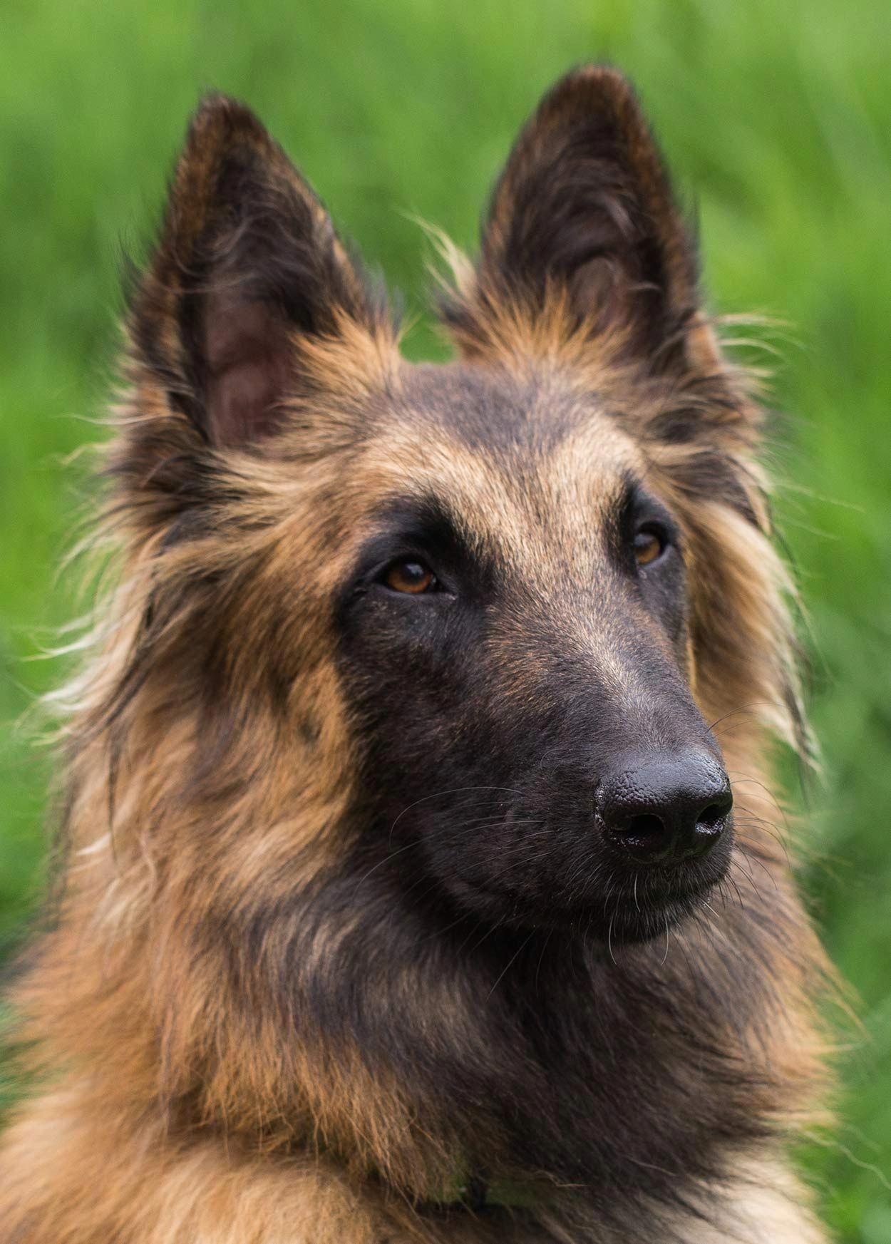 Cats Craigslist Docatssweat Belgian Dog Dog Breeds Guard Dog