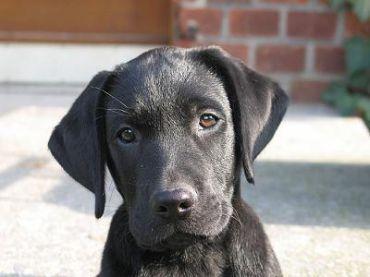 Cocker Spaniel Vs Golden Retriever Vs Labrador Retriever Vs Golden Cocker Retrie Black Labrador Retriever Black Lab Puppies Retriever Dog
