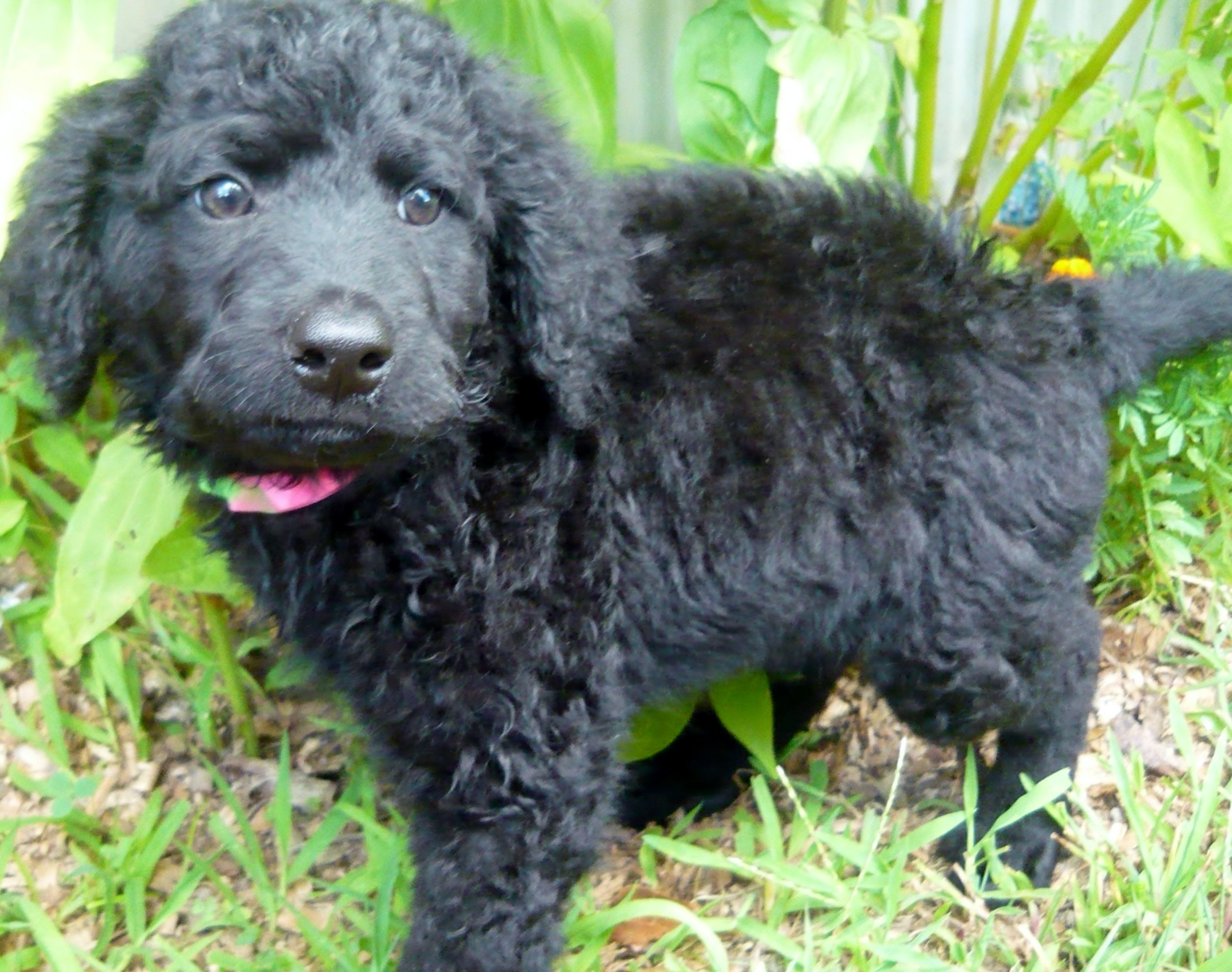Maggia A Porti Doodle Female Available 7 8 2013 Water Dog