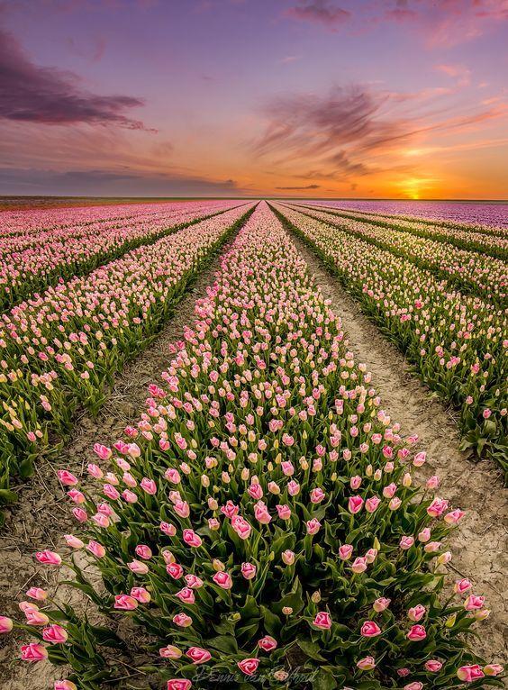 Tulip Fields In Sexbierum Friesland The Netherlands Beautiful Nature Beautiful Landscapes Beautiful Flowers