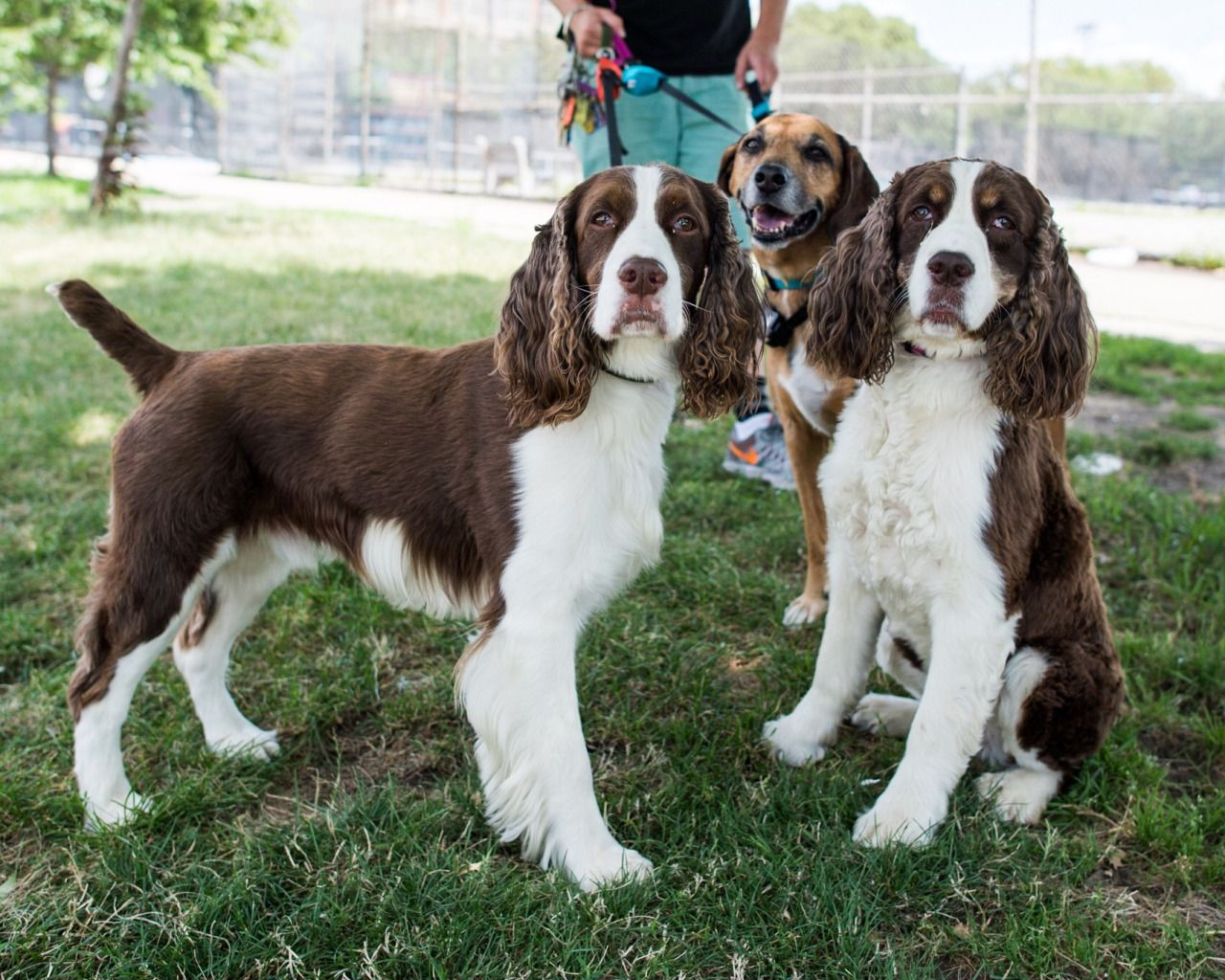 Jul 14 2016 Hudson Hudson Plum English Springer Spaniels Mix 5 Y O Brooklyn Ny English Springer Spaniel English Spaniel Welsh Springer Spaniel