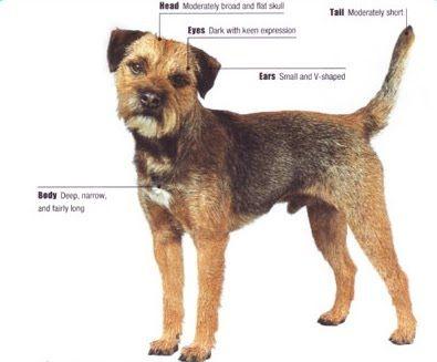 Border Terrier Border Terrier Terrier Terrier Dogs