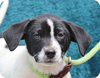 Hagerstown Md Border Collie Beagle Mix Meet Ulysses B A Puppy