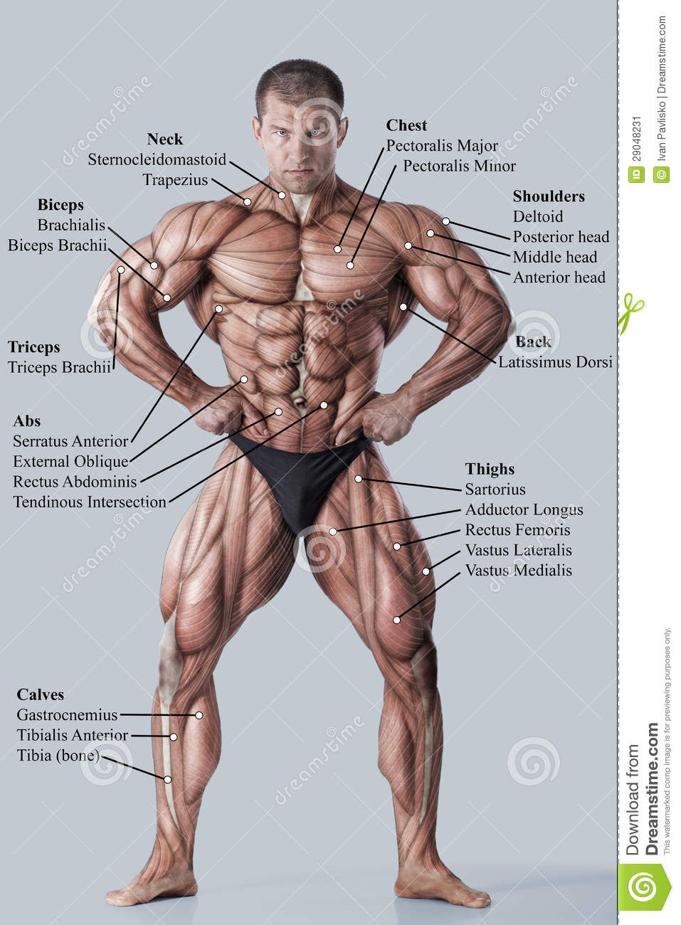 Anatomy of male muscular system | Скульптура. Анатомия. | Pinterest ...