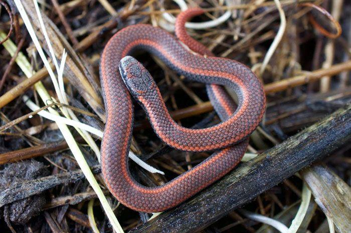 Sharp-tailed Snake