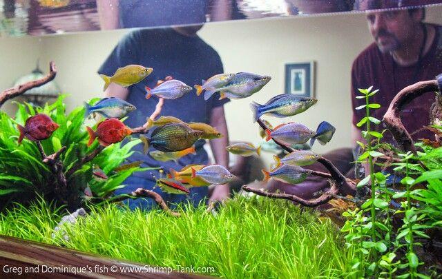 Beautiful Rainbowfish And Aquascape Fresh Water Fish Tank