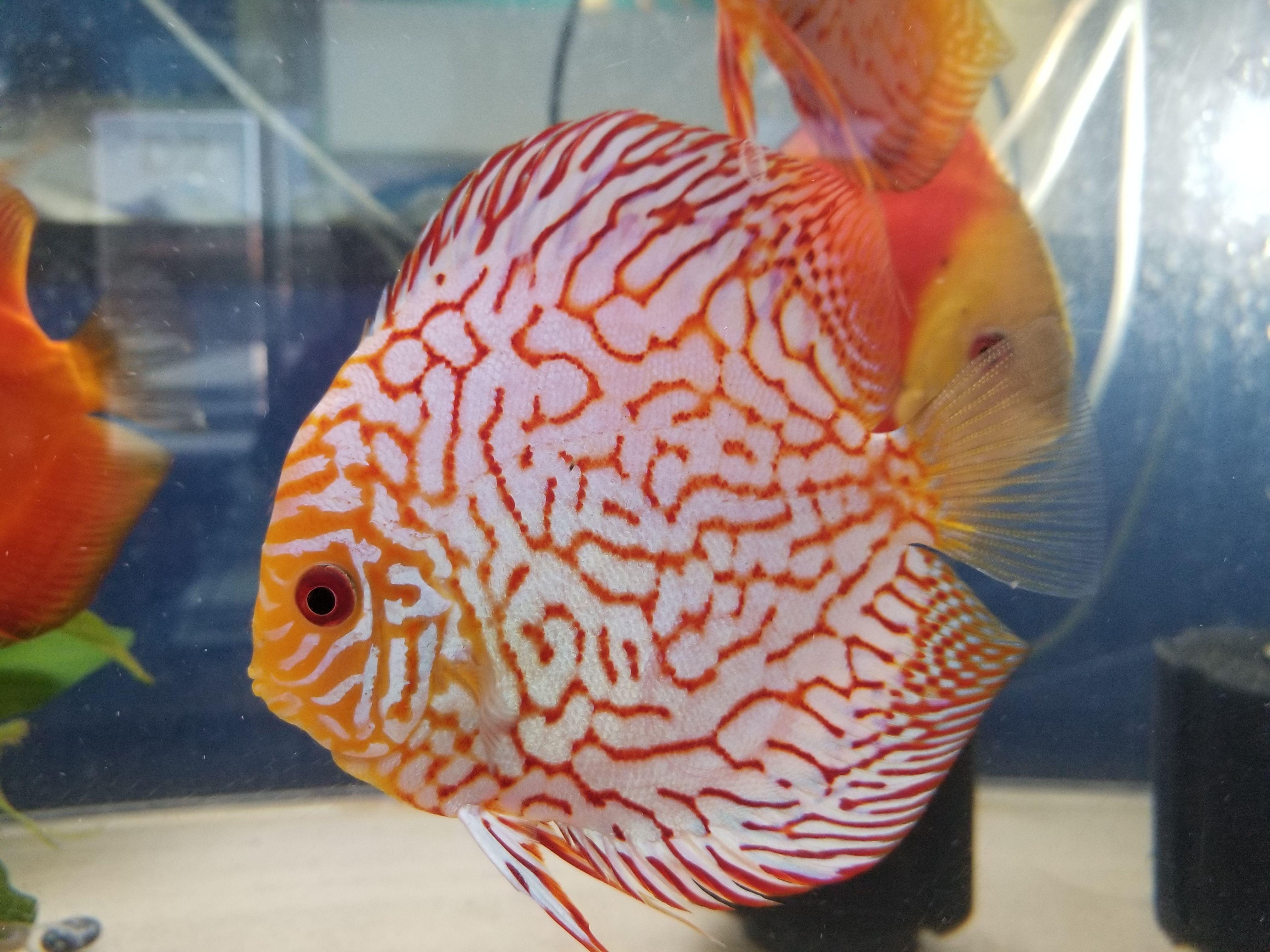 Red Pigeon Discus Fish 5 Discus Fish Discus Tropical Fish Store