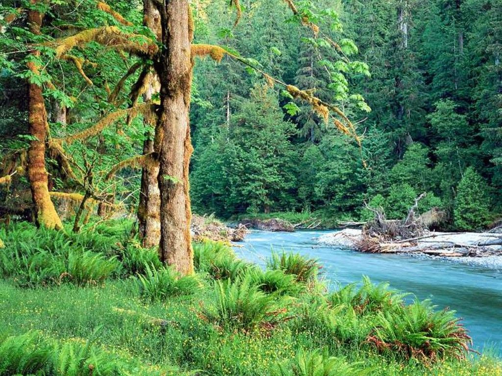 Q picture, Big Leaf Maple Trees along the Quinault River. Q photo, Big Leaf  Maple Trees along the Quinault River.