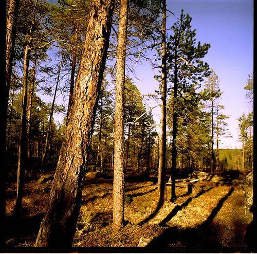 Metsä, Ivalo