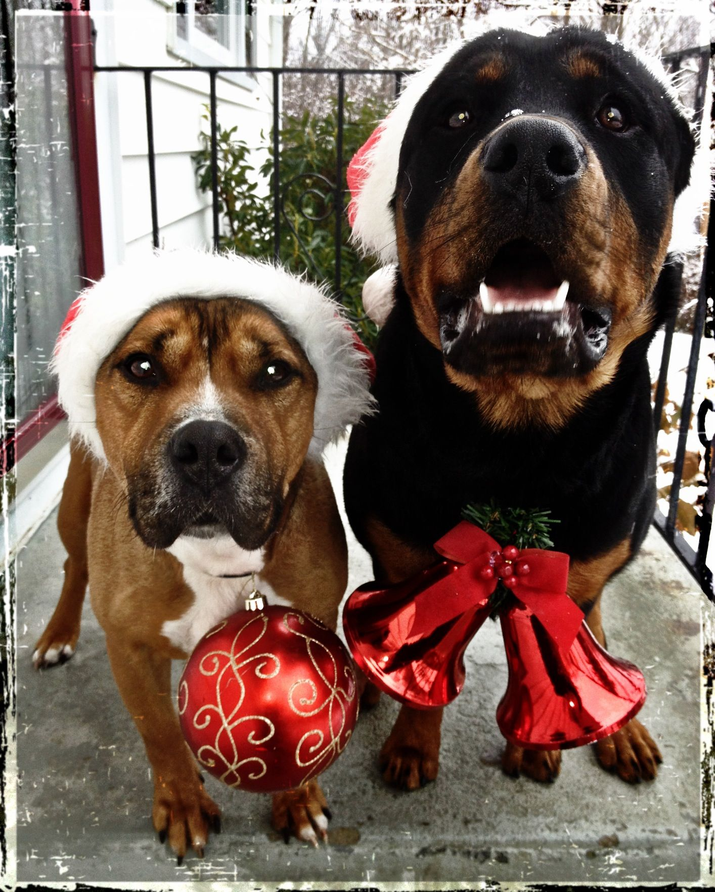 My rottie Bear and Staffy Joie showing some Christmas cheer! | My ...