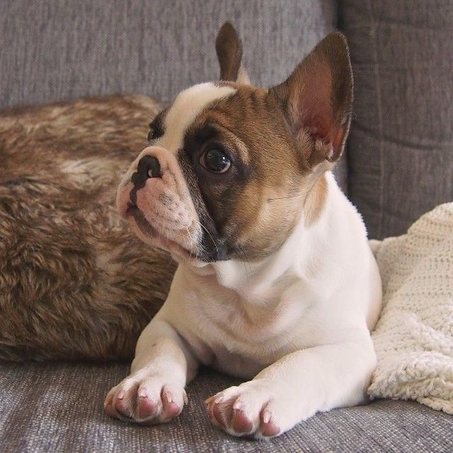 Pied French Bulldog Goldenacresdogscom