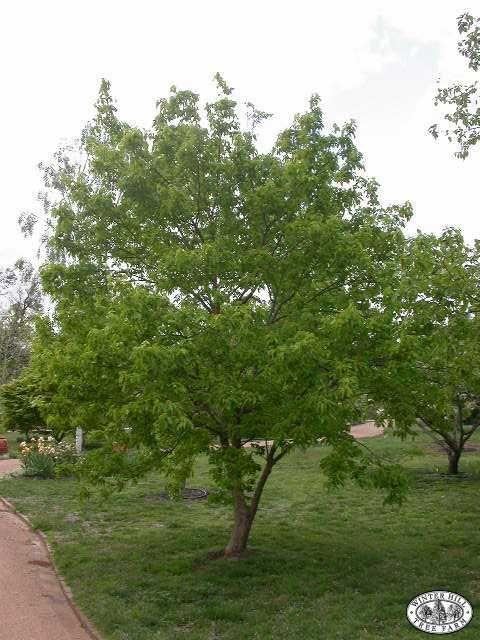 Trident Maple Acer Buergerianum Detailed Image Tree