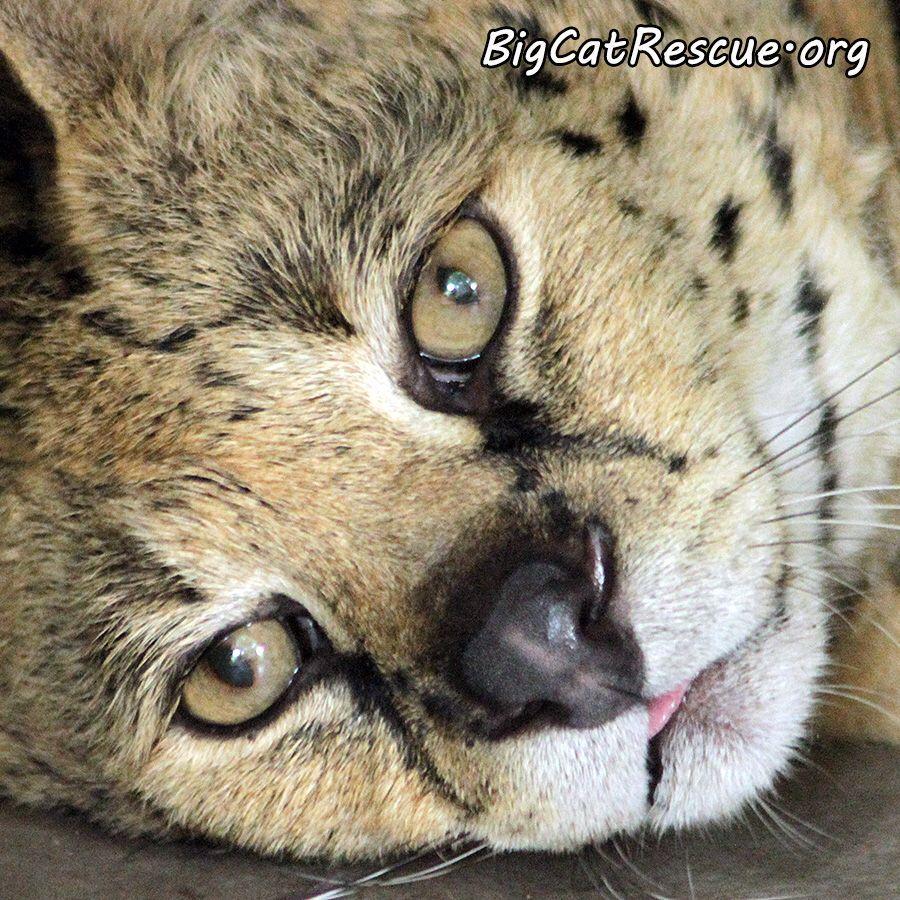 Good night Big Cat Rescue Friends! 🌙 Sleepy Miss Sheena
