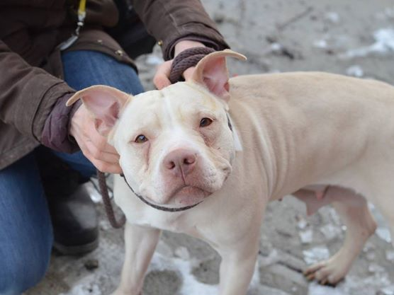 TO BE DESTROYED - 02/01/15 TO BE DESTROYED - 01/30/15 Brooklyn Center -P My name is GIA. My Animal ID # is A1025975. I am a female tan pit bull mix. The shelter thinks I am about 6 YEARS old. I came in the shelter as a STRAY on 01/21/2015 from NY 11692, owner surrender reason stated was STRAY. https://www.facebook.com/Urgentdeathrowdogs/photos/a.611290788883804.1073741851.152876678058553/951616358184577/?type=3&theater