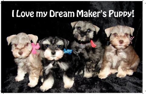 Merle Schnauzers Mini T Cup Parti Schnauzer Puppies For Sale Tx Schnauzer Puppy Puppies Puppies For Sale