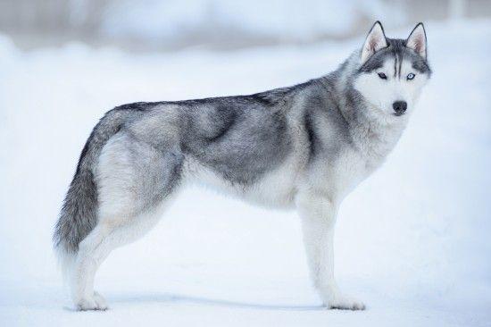 Dog Breeds With Double Coats Alaskan Dog Breeds Alaskan Dog