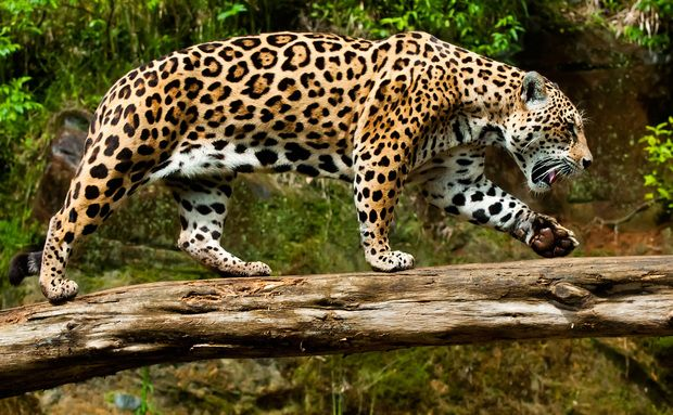 Gramado Animal Jaguar Animais Silvestres E Gatos Raros