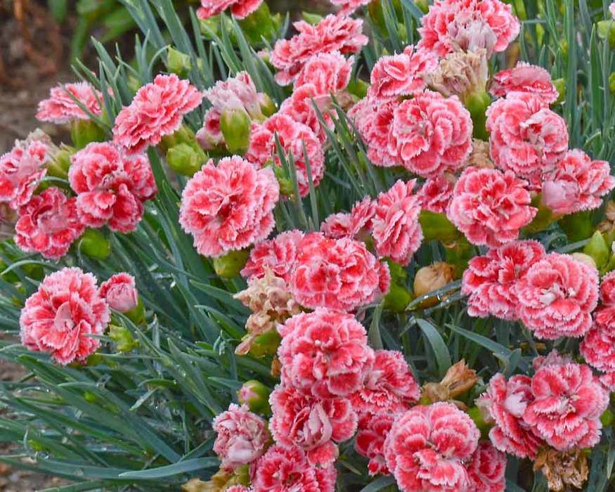 Dianthus Coral Reef Bluestone Perennials In 2020 Pink Perennials Carnation Plants Flower Pots