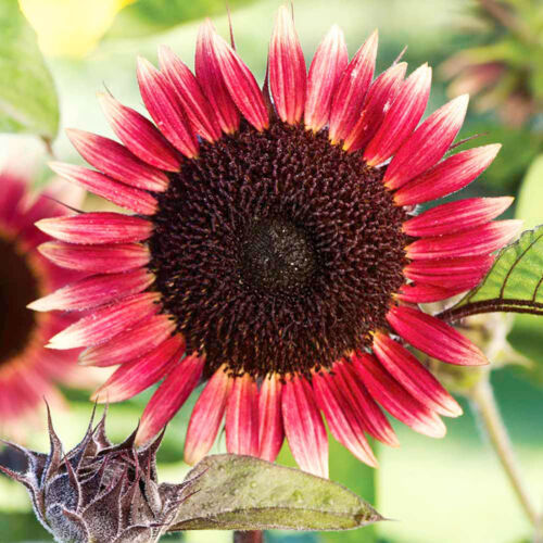 Details about NEW PINK DWARF SUNFLOWER SEED MS MARS, AP 20