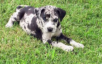 Catahoula Leopard Dog Looks Just Like Mine When She Was A Puppy