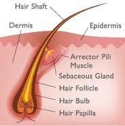 in this diagram we can see the structure of the scalp around the