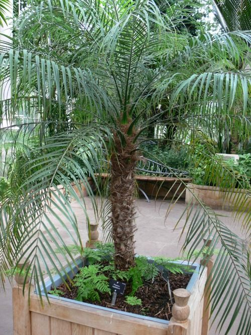 Phoenix Roebelenii | Pygmy Date Palm | How to Grow Palm Trees ...