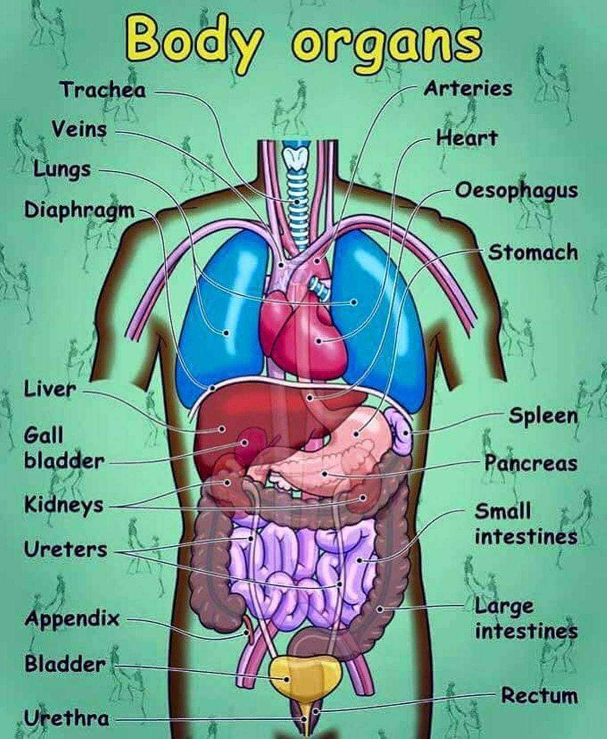English Vocabulary Internal Organs Of The Human Body