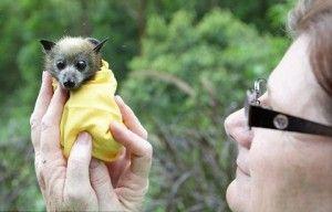 Cucciolo di pipistrello