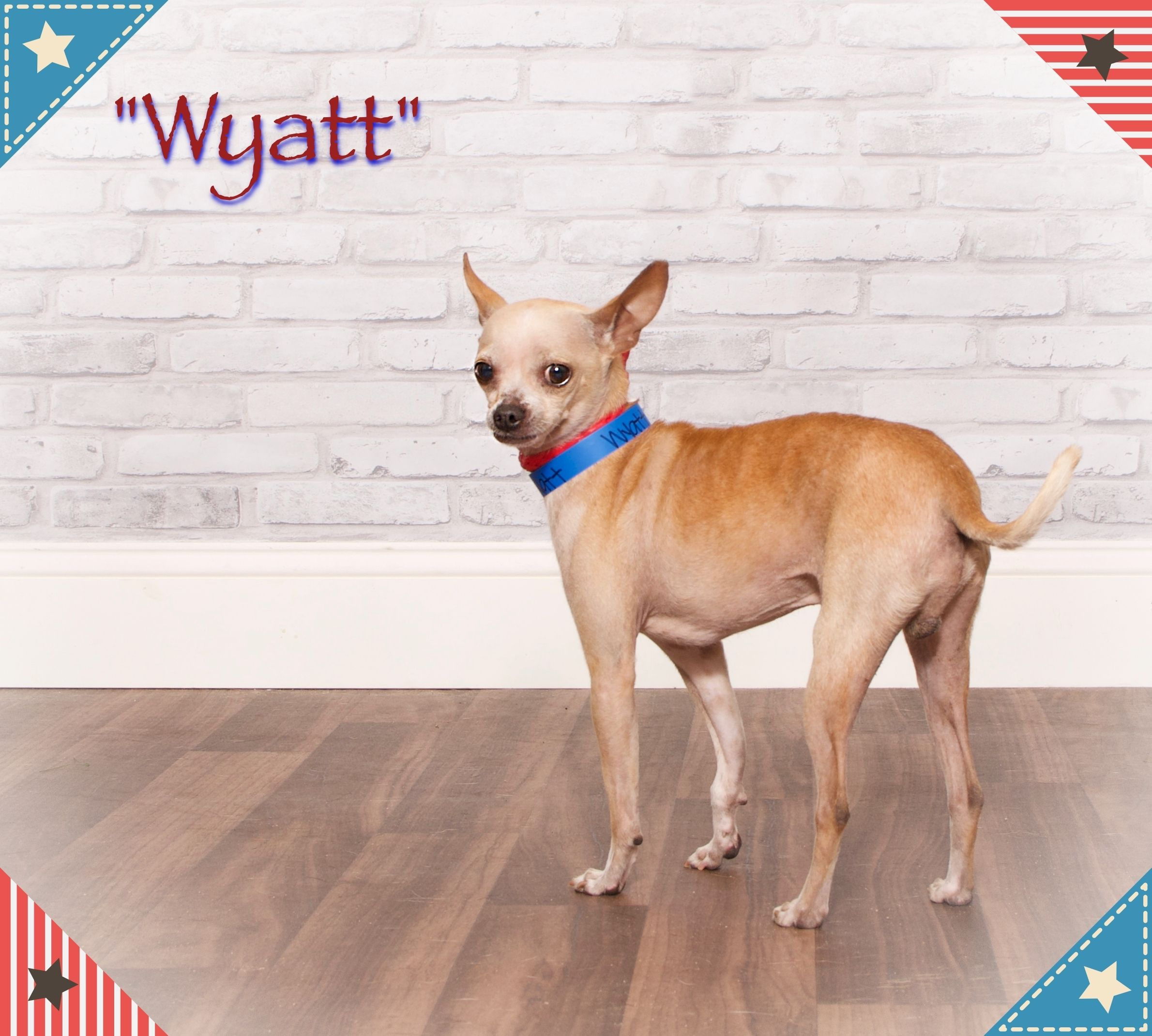 Adopt Wyatt on Chihuahua mix, Humane society, Pet search