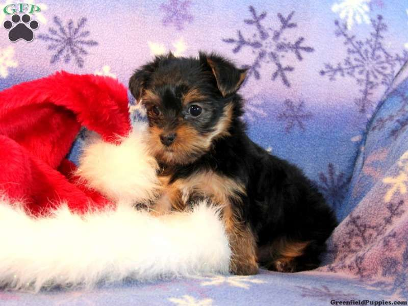 Check Out Wwwgreenfieldpuppiescom For More Info On Our Yorkies
