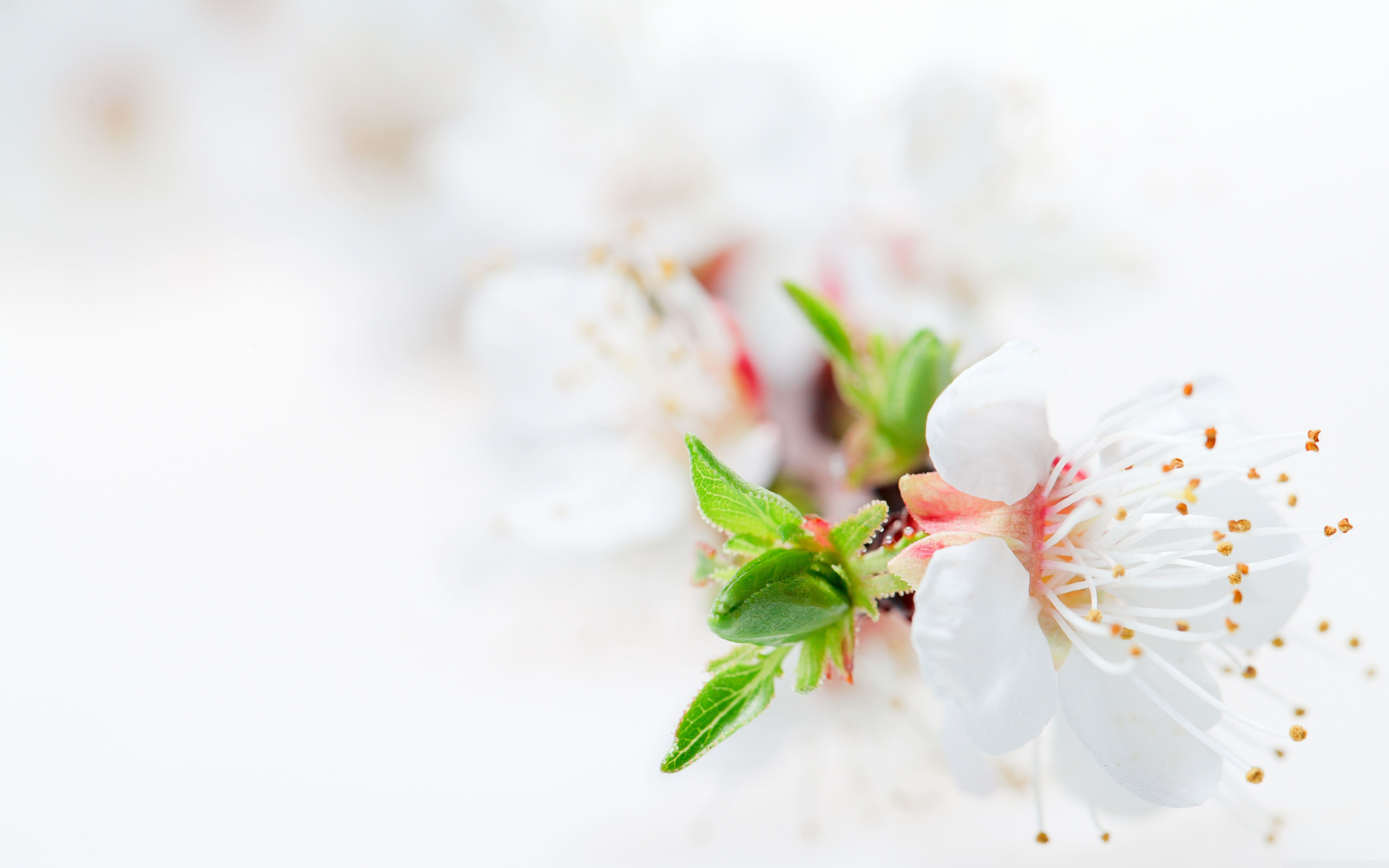 White Blossoms Flowers Pinterest White Wallpaper Wallpaper