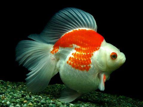 更紗琉金B/T(さらさりゅうきんぶろーどてーる)5C12627B-BC18-14 aquarium tank #freshwater