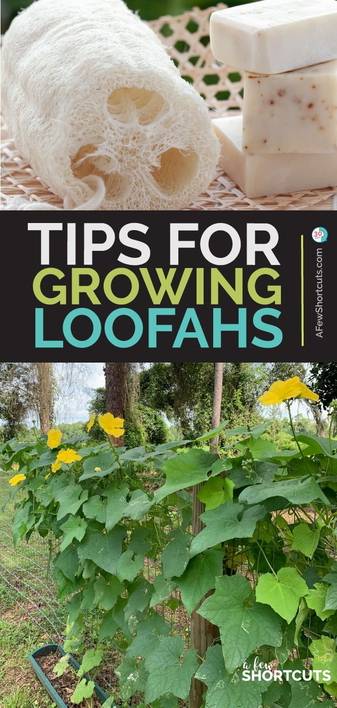 Photo of Tips for Growing Loofahs (Luffas) for Sponges – BestBLog