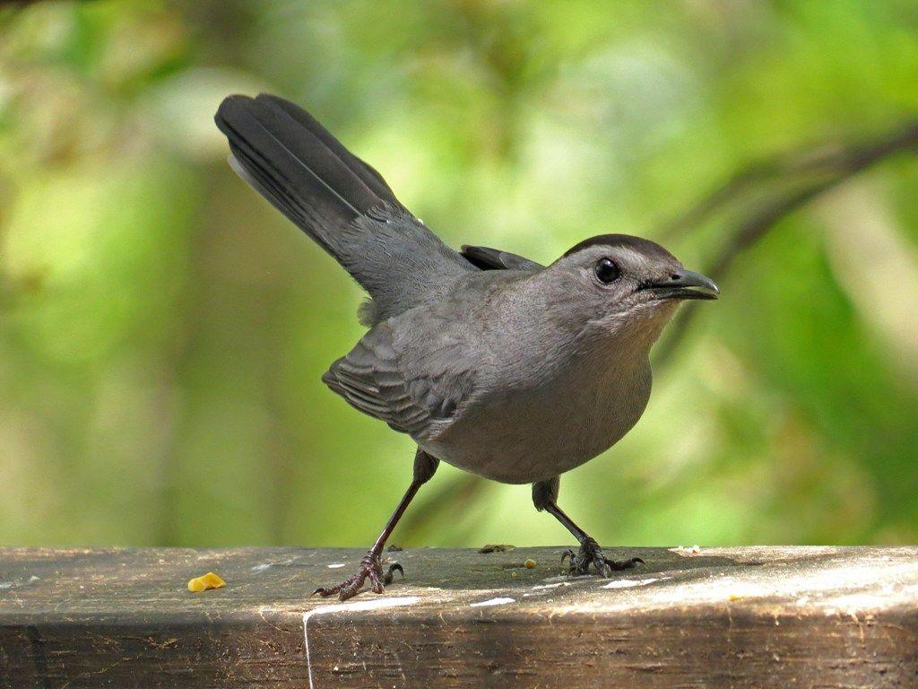 Da Da Da Da Da Da Da Da Catbird Backyard Bird Nerd